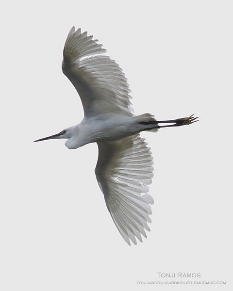 LITTLE EGRET  <i>Egretta garzetta</i>  Sta. Elena Golf Club, Philippines