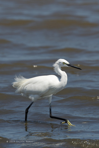 LITTLE EGRET showing breeding plumage <i>Egretta garzetta</i>  Balanga, Bataan