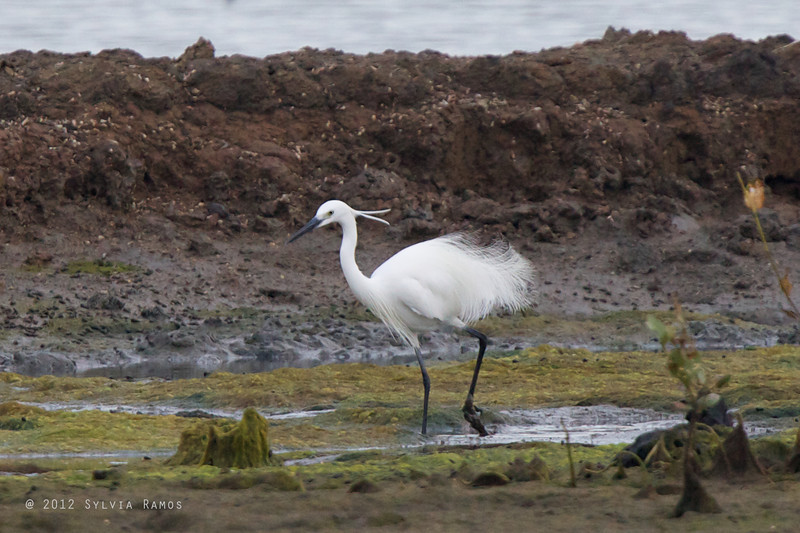 LITTLE EGRET, breeding plumage <i>Egretta garzetta</i>  Cebu, Philippines