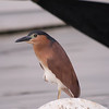 RUFOUS NIGHT HERON  <i>Nycticorax caledonicus</i>  Manila Yacht Club, Philippines
