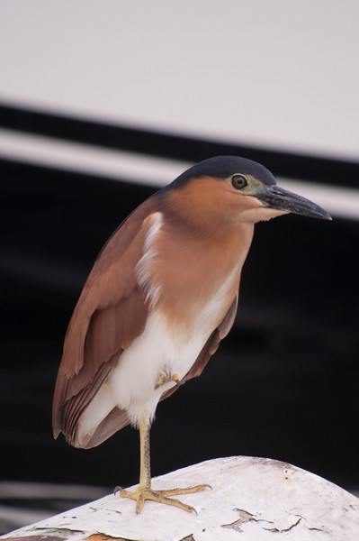 Rufous Night Heron RUFOUS NIGHT HERON <i>Nycticorax caledonicus</i>  Manila Yacht Club, Philippines