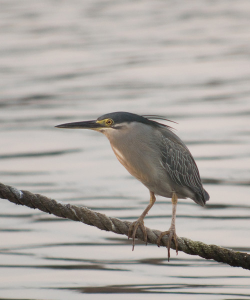 STRIATED HERON <i>Butorides striatus</i> Manila Yacht Club, Philippines