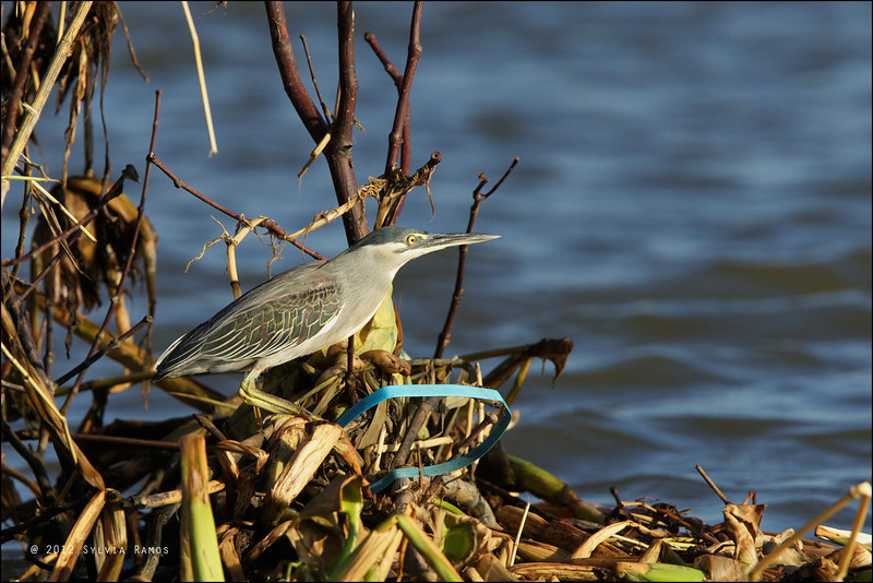 STRIATED HERON <i>Butorides striatus</i> Manila Bay, Pampanga