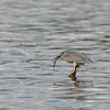 STRIATED HERON <i>Butorides striatus</i> Pampanga , Philippines
