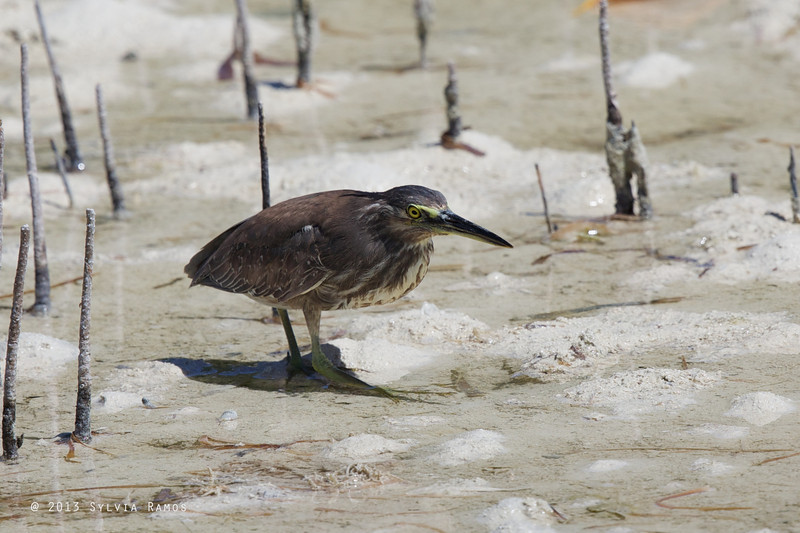 STRIATED HERON <i>Butorides striatus</i> Olango, Cebu