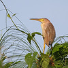 YELLOW BITTERN <i>Ixobrychus sinensis</i> Southwoods golf Club, Cavite, Philippines