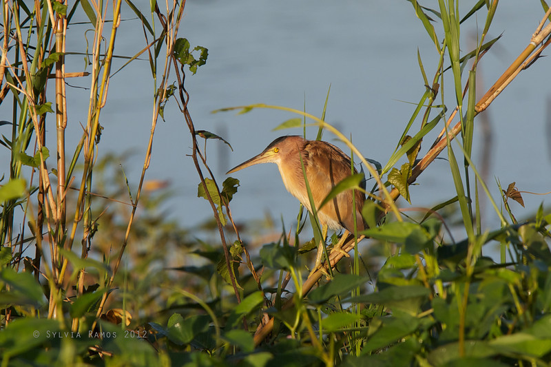 YELLOW BITTERN, male <i>Ixobrychus sinensis</i> Candaba, Pampanga, Philippines