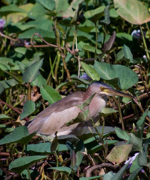 YELLOW BITTERN <em>Ixobrychus sinensis</em> Candaba, Pampanga, Philippines