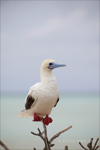 RED-FOOTED BOOBY <i>Sula sula</i> Tubbataha Reef, Sulu Sea