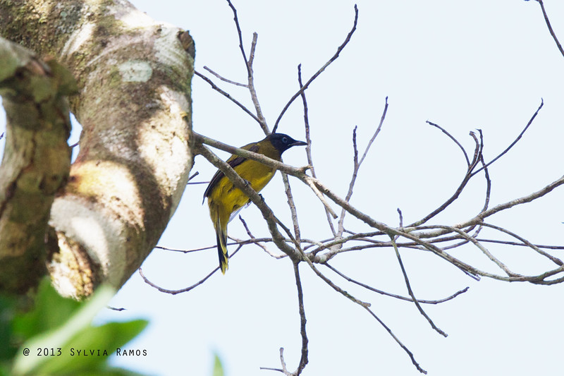 BLACK HEADED BULBUL <i>Pycnonotus atriceps</i> Puerto Princesa, Palawan