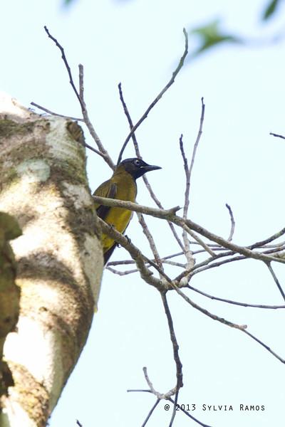 BLACK HEADED BULBUL <i>Pycnonotus atriceps</i> Puerto Princesa, Palawan