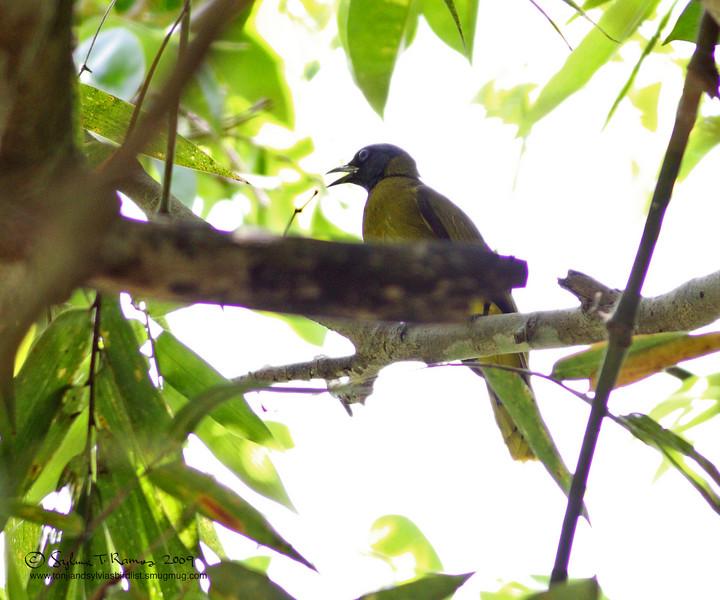 BLACK HEADED BULBUL <i>Pycnonotus atriceps</i> Sabang, Palawan