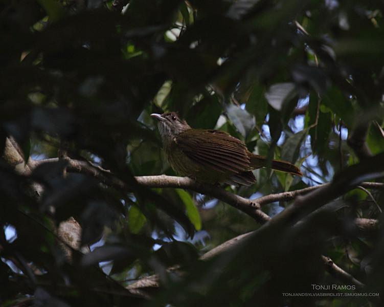 PALAWAN BULBUL <i>Alophoixus frater</i> Sabang, Palawan, Philippines