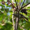 Mindoro Bulbul <i>Hypsipetes mindorensis</i> Pandan Island, Occidental Mindoro