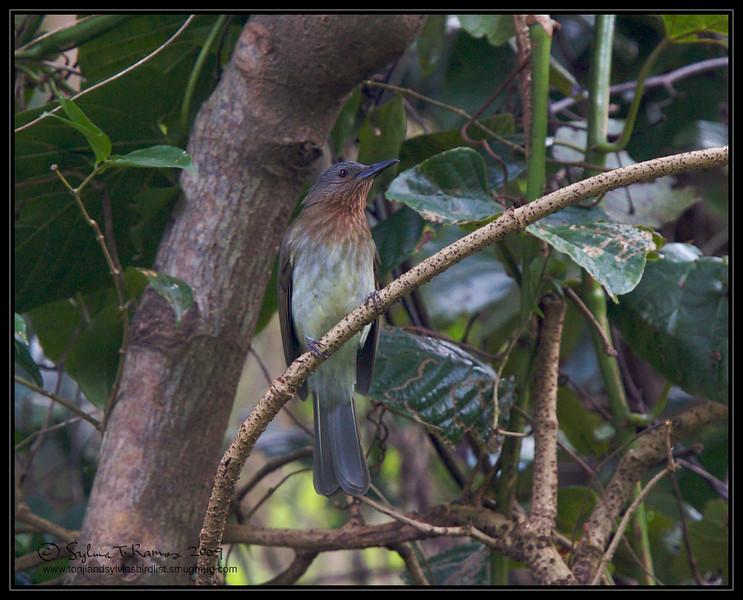 PHILIPPINE BULBUL <i>Hypsipetes philippinus</i> Mt. Palay-palay, Cavite, Philippines