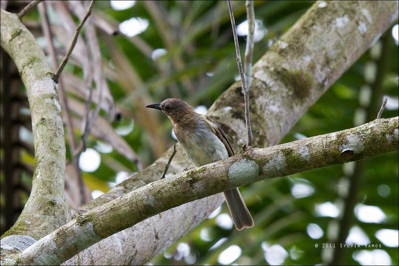 PHILIPPINE BULBUL <i>Hypsipetes philippinus</i> Simply Butterflies Resort, Bilar, Bohol