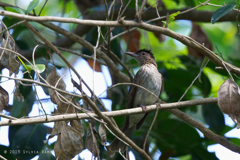 STREAK-BREASTED BULBUL <i>Ixos siquijorensis</i> Siquijor, Philippines