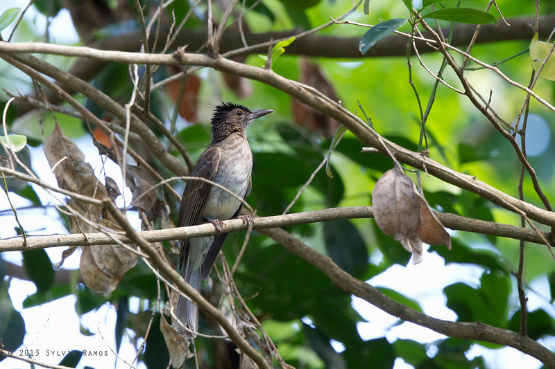 STREAK-BREASTED BULBUL <i>Ixos siquijorensis</i> Siquijor, Philippines
