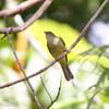 SULPHUR-BELLIED BULBUL <i>Iole palawanensis</i> Sabang, Palawan