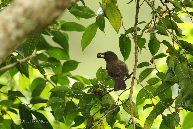 Visayan Bulbul <i>Hypsipetes guimarasensis</i> Twin Lakes, Dumaguete, Negros Occidental