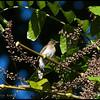 YELLOW WATTLED BULBUL  <i>Pyncnotus urostictus</i>  Philippine Eagle Center, Davao, Philippines