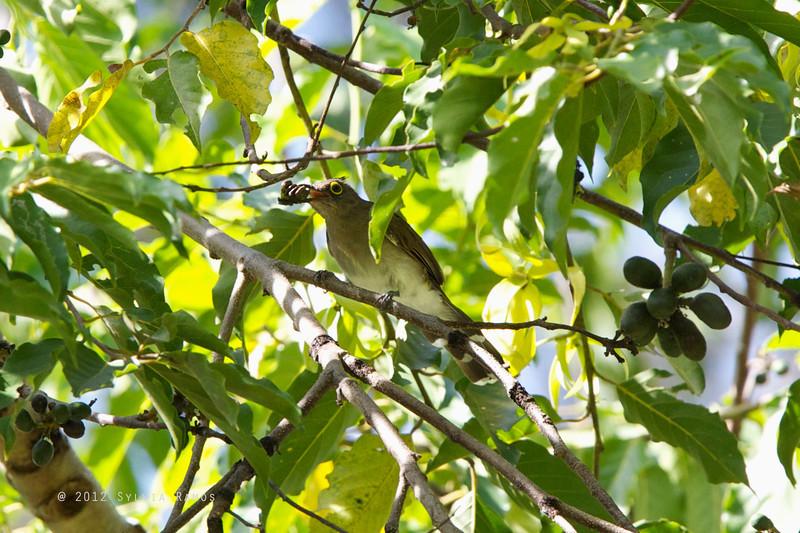 YELLOW WATTLED BULBUL  <i>Pyncnotus urostictus</i>  Mapawa Nature Reserve, Malasag, Cagayan de Oro