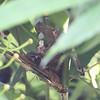 YELLOW WATTLED BULBUL  <i>Pyncnotus urostictus</i>  Makiling, Los Baños, Laguna