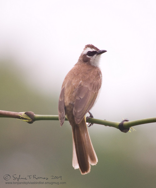 YELLOW-VENTED BULBUL <i>Pycnonotus goiavier</i>  Canyon Woods, Cavite, Philippines