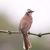 YELLOW-VENTED BULBUL <i>Pycnonotus goiavier</i>  Canyon Woods, Cavite, Philippines