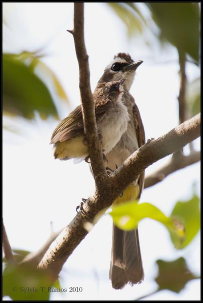 YELLOW-VENTED BULBUL <i>Pycnonotus goiavier</i> Alabang, Philippines
