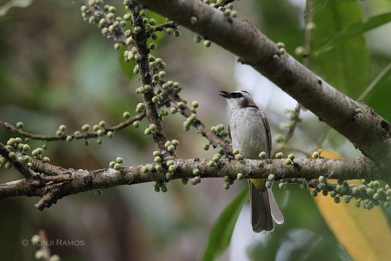 YELLOW-VENTED BULBUL <i>Pycnonotus goiavier</i> Eden, Davao, Davao del Sur  Mindanao race is <i>suluensis</i> an endemic race.