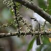 YELLOW-VENTED BULBUL <i>Pycnonotus goiavier</i> Eden, Davao, Davao del Sur  Mindanao race is <i>suluensis</i> an endemic race.