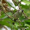 YELLOW-VENTED BULBUL <i>Pycnonotus goiavier</i> Eden, Davao, Davao del Sur