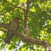 ZAMBOANGA BULBUL <i>Ixos rufigularis</i> Baluno, Pasonanca, Zamboanga