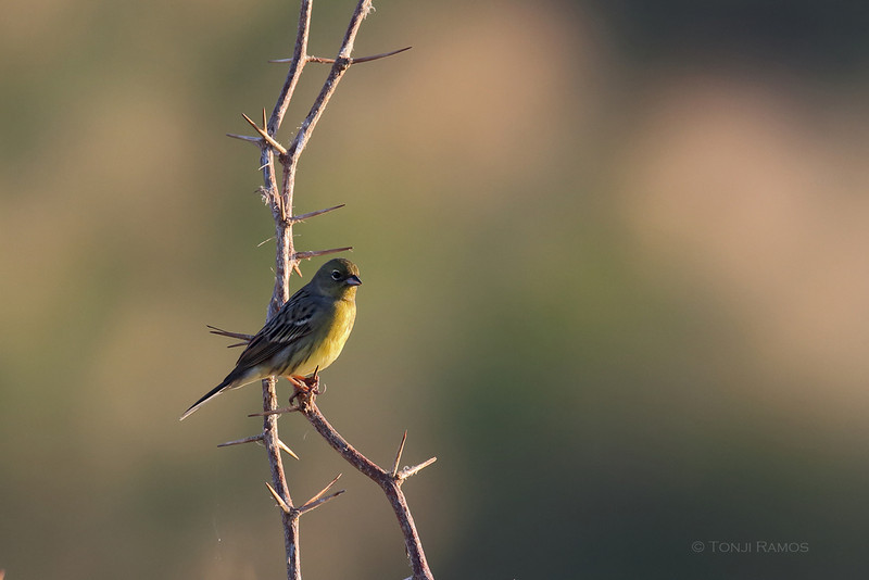 YELLOW BUNTING aka Japanese Yellow Bunting <i>Emberiza sulphurata</i> Laoag, Ilocos Norte