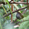 PHILIPPINE BUSH-WARBLER <i> Horornis seebohmi</i> Mt. Polis, Mountain Province, Phlippines