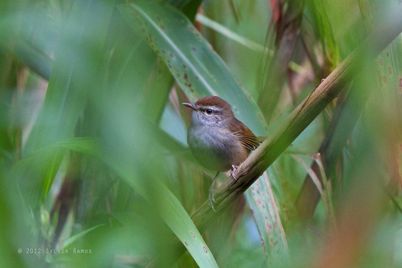PHILIPPINE BUSH-WARBLER <i> Horornis seebohmi</i> Mt. Polis, Mountain Province, Philippines