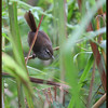 PHILIPPINE BUSH-WARBLER <i> Horornis seebohmi</i> Sagada, Mountain Province, Phlippines