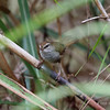 PHILIPPINE BUSH-WARBLER <i> Horornis seebohmi</i> Bessang Pass, Ilocos Sur, Phlippines