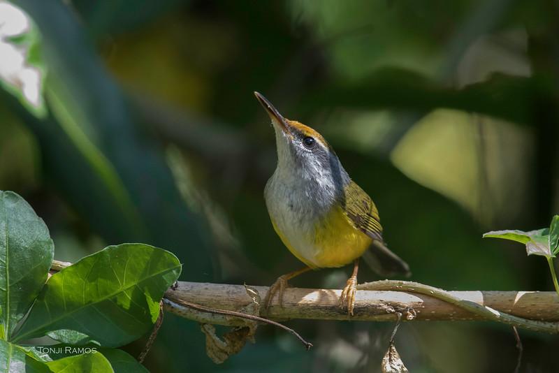 MOUNTAIN TAILORBIRD <i>Orthotomus cuculatus</i> Baguio, Benguet