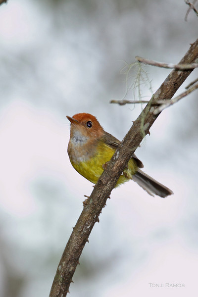 RUFOUS-HEADED TAILORBIRD <i>Orthotomus heterolaemus</i> Mt. Kitanglad, Bukidnon