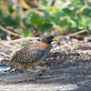 BARRED BUTTONQUAIL <i>Turnix suscitator</i> Los Baños, Laguna, Philippines