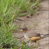 BARRED BUTTONQUAIL <i>Turnix suscitator</i> Nuvali, Laguna, Philippines