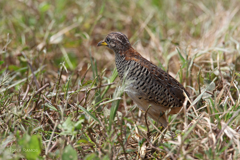 BARRED BUTTONQUAIL <i>Turnix suscitator</i> Nuvali, Laguna, Philippines  Taken April 2011.