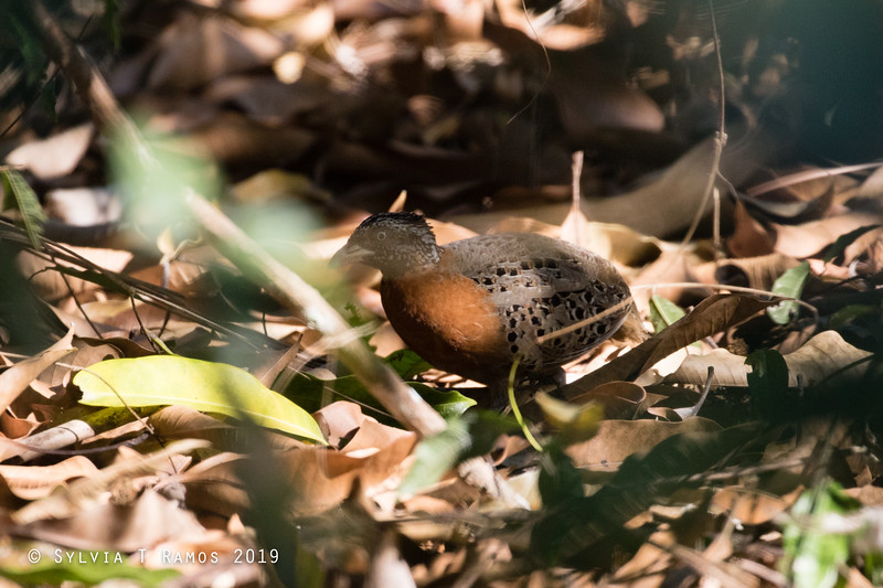 SPOTTED BUTTONQUAIL