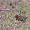 SPOTTED BUTTONQUAIL <i>Turnix ocellatus</i> Subic, Zambales, Philippines