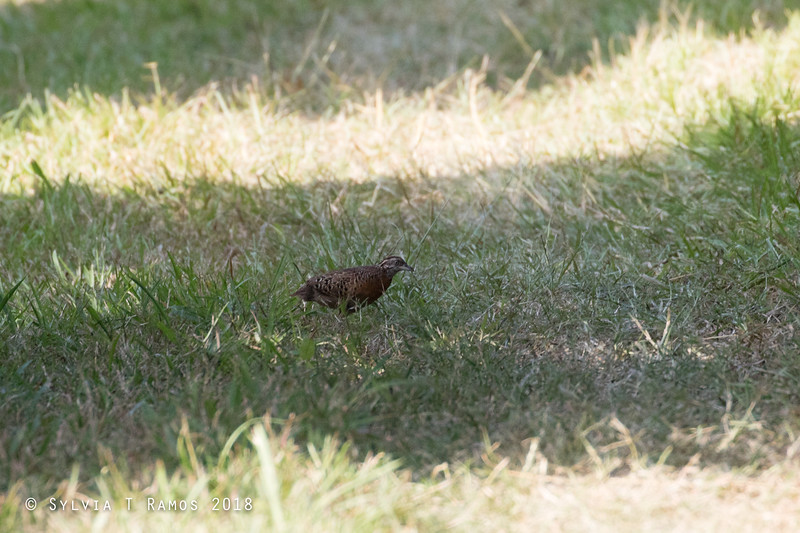 SPOTTED BUTTONQUAIL,  male