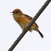 BRIGHT-CAPPED CISTICOLA  aka Golden-Headed Cisticola <i>Cisticola exilis</i>  Masantol, Pampanga, Philippines