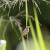 BRIGHT-CAPPED CISTICOLA  aka Golden-Headed Cisticola <i>Cisticola exilis</i>  Sta. Elena Golf Club, Philippines