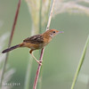 BRIGHT-CAPPED CISTICOLA